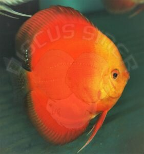 Discus Terčovec Georgeus Red
