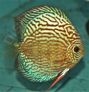 Discus Terčovec WILD ROYAL X RED TURQUOISE